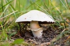Άγριος-αυξανόμενο μανιτάρι (Champignon, lat : Agaricus) στη χλόη Στοκ Εικόνες
