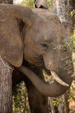 Άγριος αφρικανικός ελέφαντας που τρώει τους θάμνους και τα φύλλα Στοκ εικόνες με δικαίωμα ελεύθερης χρήσης