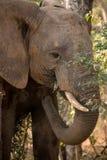 Άγριος αφρικανικός ελέφαντας που τρώει τους θάμνους και τα φύλλα Στοκ Εικόνες