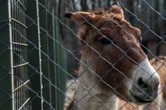Άγριος γάιδαρος πίσω από το φράκτη στοκ φωτογραφίες με δικαίωμα ελεύθερης χρήσης