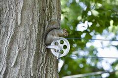 Άγριος γκρίζος σκίουρος Στοκ Φωτογραφίες