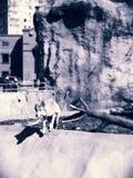 Άγριος γκρίζος λύκος Στοκ φωτογραφίες με δικαίωμα ελεύθερης χρήσης