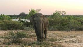 Άγριος ελέφαντας που τρώει τη χλόη, εθνικό πάρκο Yala, Σρι Λάνκα απόθεμα βίντεο