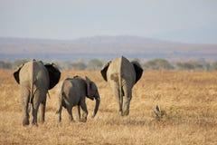 Άγριος ελέφαντας Στοκ εικόνες με δικαίωμα ελεύθερης χρήσης