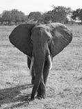Άγριος ελέφαντας Στοκ Φωτογραφίες