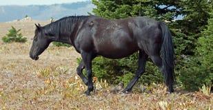 Άγριος επιβήτορας ζωνών αλόγων μαύρος στα Arrowhead/Pryor βουνά μέσα Στοκ Φωτογραφία