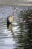 Άγριος ερωδιός στο κυνήγι Στοκ Εικόνες
