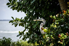 Άγριος ερωδιός ζωής δυτικών ακτών της Φλώριδας νησιών Captiva στοκ εικόνα με δικαίωμα ελεύθερης χρήσης