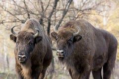Άγριος ευρωπαϊκός βίσωνας δύο (bison bonasus) στο αποβαλλόμενο πρόσθιο μέρος φθινοπώρου Στοκ Εικόνα