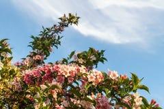 Άγριος θάμνος λιβαδιών των ρόδινων λουλουδιών στο δάσος Στοκ εικόνα με δικαίωμα ελεύθερης χρήσης