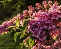 Άγριος θάμνος λιβαδιών των ρόδινων λουλουδιών στο δάσος Στοκ Φωτογραφία