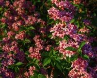 Άγριος θάμνος λιβαδιών των ρόδινων λουλουδιών στο δάσος Στοκ Φωτογραφίες