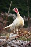 Άγριος θηλυκός κόκκορας της Τουρκίας Στοκ Φωτογραφία