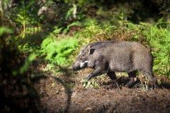 Άγριος κάπρος στο δάσος Στοκ Εικόνα
