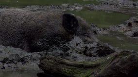 Άγριος κάπρος στο ρύπο απόθεμα βίντεο