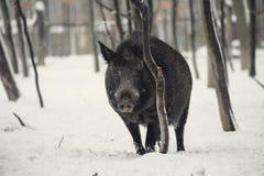 Άγριος κάπρος Στοκ εικόνα με δικαίωμα ελεύθερης χρήσης
