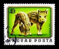 Άγριος κάπρος (scrofa Sus), νέα ζώα serie, circa 1976 Στοκ Εικόνες