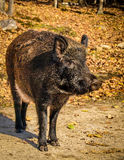 Άγριος κάπρος - scrofa Sus Στοκ Εικόνες