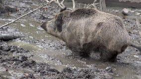 Άγριος κάπρος shits στη λάσπη απόθεμα βίντεο