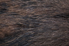 Άγριος κάπρος & x28 Sus scrofa& x29  άνευ ραφής σύσταση δερμάτων tileable Στοκ φωτογραφίες με δικαίωμα ελεύθερης χρήσης