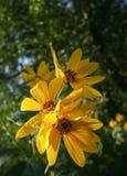 άγριος κίτρινος λουλο&ups Στοκ φωτογραφία με δικαίωμα ελεύθερης χρήσης