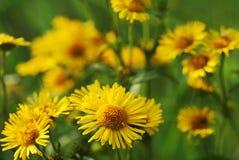 άγριος κίτρινος λουλο&ups Στοκ Εικόνες