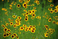 άγριος κίτρινος λουλουδιών Στοκ εικόνες με δικαίωμα ελεύθερης χρήσης