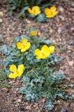 άγριος κίτρινος λουλουδιών Στοκ φωτογραφία με δικαίωμα ελεύθερης χρήσης