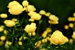 άγριος κίτρινος λουλουδιών Στοκ Εικόνα