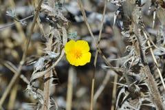 άγριος κίτρινος λουλο&ups Στοκ Φωτογραφία