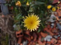 άγριος κίτρινος λουλο&ups Στοκ φωτογραφίες με δικαίωμα ελεύθερης χρήσης