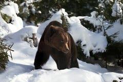 Άγριος καφετής αντέχει στο χειμερινό δάσος Στοκ Φωτογραφίες