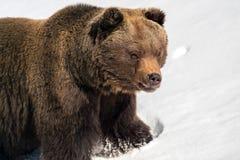 Άγριος καφετής αντέχει στο χειμερινό δάσος Στοκ Εικόνες