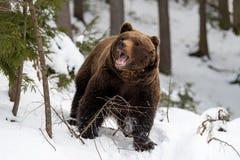 Άγριος καφετής αντέχει στο χειμερινό δάσος Στοκ φωτογραφίες με δικαίωμα ελεύθερης χρήσης