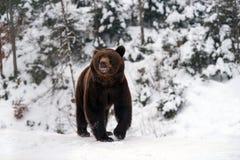 Άγριος καφετής αντέχει στο χειμερινό δάσος Στοκ εικόνα με δικαίωμα ελεύθερης χρήσης