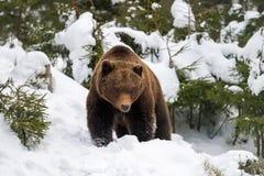 Άγριος καφετής αντέχει στο χειμερινό δάσος Στοκ φωτογραφία με δικαίωμα ελεύθερης χρήσης