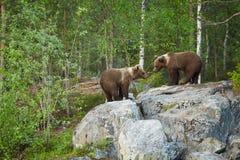 Άγριος καφετής αφορά, arctos Ursus, δύο cubs, που παίζουν το βράχο, περιμένοντας τη μητέρα αντέξτε στοκ φωτογραφία
