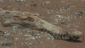 Άγριος κροκόδειλος σε έναν ποταμό φιλμ μικρού μήκους