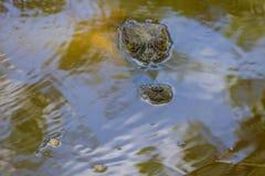 Άγριος κροκόδειλος στον ποταμό Στοκ Φωτογραφία