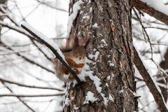 Άγριος κόκκινος σκίουρος, χιονισμένος κλάδος δέντρων πεύκων Σκηνή Winter Park πεδίο βάθους ρηχό Εκλεκτική εστίαση Στοκ φωτογραφία με δικαίωμα ελεύθερης χρήσης