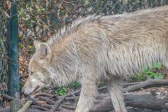 Άγριος λύκος στο ζωολογικό κήπο Artis Άμστερνταμ οι Κάτω Χώρες Στοκ Φωτογραφία