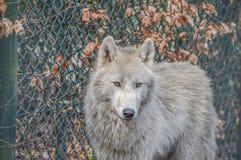 Άγριος λύκος στο ζωολογικό κήπο Artis Άμστερνταμ οι Κάτω Χώρες Στοκ Εικόνες
