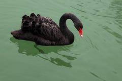 Μαύρος κύκνος Στοκ φωτογραφία με δικαίωμα ελεύθερης χρήσης