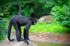 Άγριος πίθηκος αραχνών Στοκ Εικόνες
