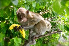 Άγριος πίθηκος με την μπανάνα Στοκ Φωτογραφία