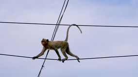 Άγριος πίθηκος που αναρριχείται στο αστικό ηλεκτροφόρο καλώδιο electrict φιλμ μικρού μήκους