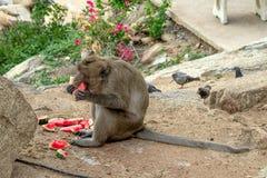 Άγριος πίθηκος που τρώει το καρπούζι κοντά στο ναό στοκ εικόνες