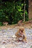 Άγριος πίθηκος στο εθνικό πάρκο Khoa Yai Στοκ Εικόνα