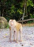 Άγριος πίθηκος στο εθνικό πάρκο Khoa Yai Στοκ Φωτογραφίες