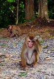 Άγριος πίθηκος στο εθνικό πάρκο Khoa Yai Στοκ φωτογραφίες με δικαίωμα ελεύθερης χρήσης